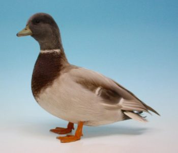 Apricot Call Duck Drake