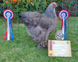 The winner: Dylan's Brahma pullet